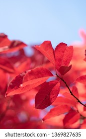 Red leaves in autumn blue background