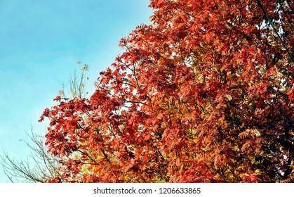 red leaves of autumn Rowan
