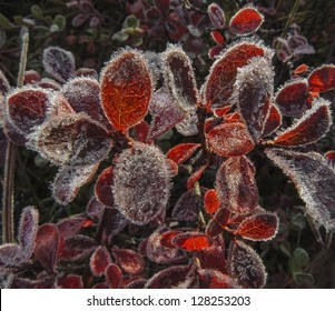 The red leaves of Bearberry (Arctostaphylos) are encrusted in ice crystals following an early fall freeze on the tundra in Denali National Park, Alaska.