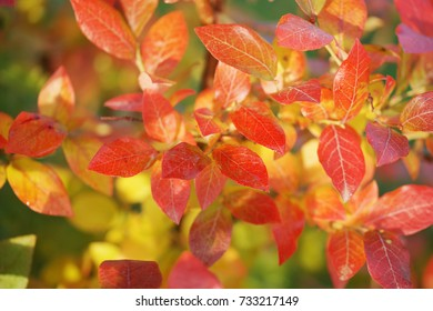 Red leaves of blueberries in autumn