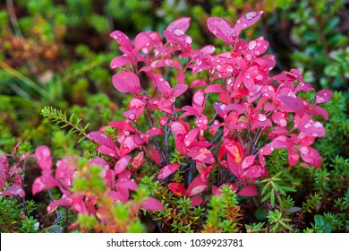 Red Leaves of huckleberry in Alaska