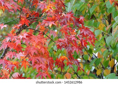 Red leaves of Karuizawa in the rain