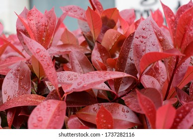 Red Leaves Natural Plant Organic