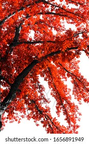 Red leaves on a black tree contrasted against an empty white sky background