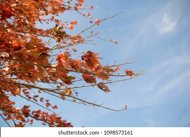 Red leaves on branches in fall