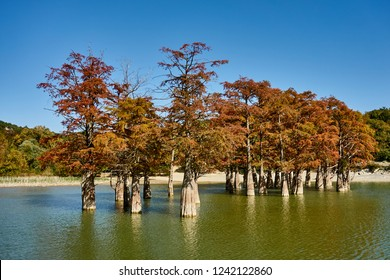 Red leaves on the branches of marsh cypress trees in the water of a mountain lake. The famous old deciduous coniferous trees (Taxódium dístichum) of the cypress family in water. Sukko Valley