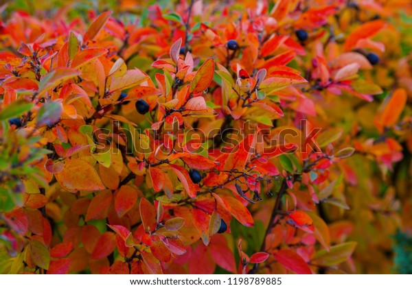 Red Leaves On Bushes Turn Red Stock Photo Edit Now 1198789885