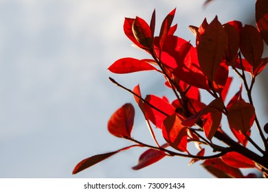 Red leaves on a shrub in fall.