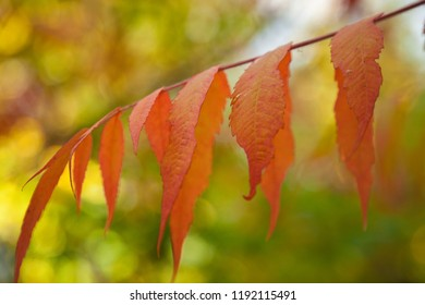 Red leaves on a tree in autumn, British Columbia