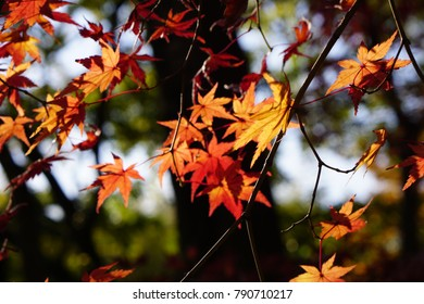 Red leaves on tree on blue sky background, autumn golden burgundy leaves with back light, sunlight sun beams between the tree branches, close up macro, september, fall beautiful foliage October