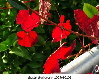 Red leaves on the tree, closeup. November in California, USA