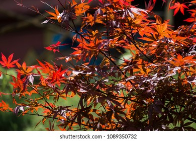 Red leaves of palmate maple. Japanese maple tree Atropurpureum (Acer palmatum)