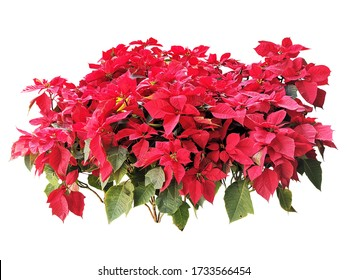 red leaves Poinsettia Christmas tree plant isolated include clipping path on white background