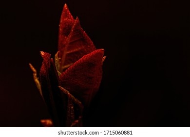 Red leaves sprouting in spring with a black background and lit from above.