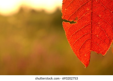 red leaves of the tree. macro