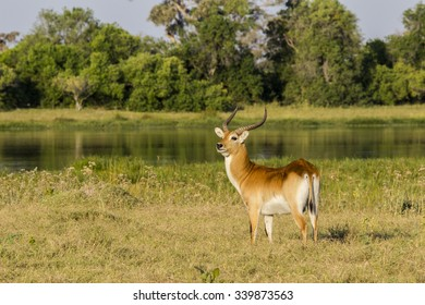 Red Lechwe in the delta
