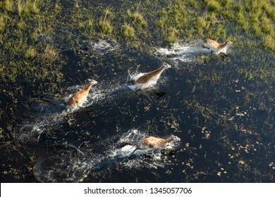 Red lechwe running in the okavango delta.