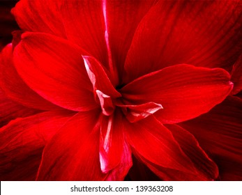 Red lily flower. Abstract background. Close-up.