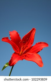 Red Lily Flower against a clear blue sky