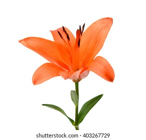 Red lily flower closeup isolated on white