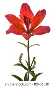 Red lily flower closeup with water drop isolated on white