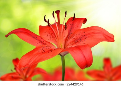 Red lily flower on green natural background