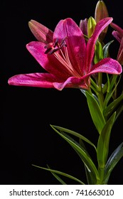 Red lily flower with water drops isolated on black background