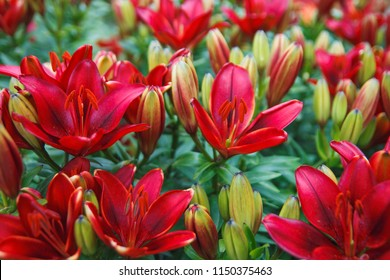 Red lily flowers background. Full blooming of deep red asiatic lily in summer flower garden. Bright red and green and beautiful asiatic lilies background.