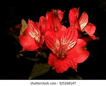 Red lily flowers in a bouquet on black background