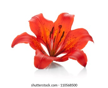 Red lily. Isolated on white background