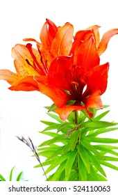 red Lily on a light background.