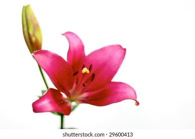 Red lily over white