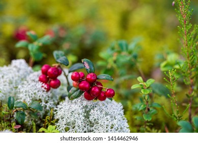 red lingonberry fruits in green forest moss in sunny summer day. wild berries