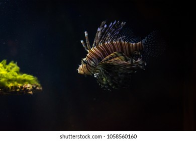 The red lionfish on the black background in the aquarium in Berlin