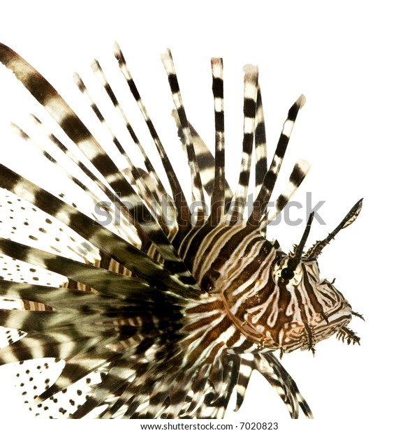 Red lionfish - Pterois volitans in front of a white background