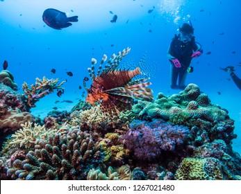 Red lionfish, Pterois volitans  (Linnaeus, 1758). Ie island, Okinawa, Japan