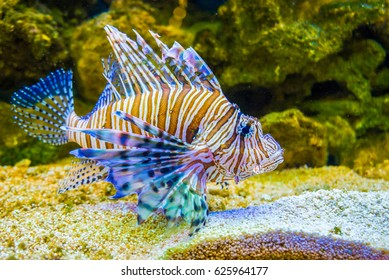 Red lionfish Pterois volitans, Wild life animal.