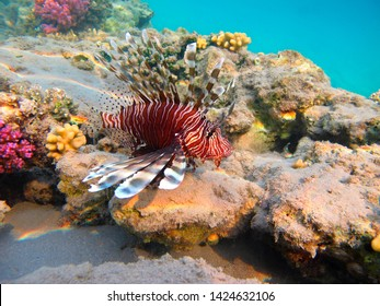 Red lionfish and shallow tropical reef. Venomous predator fish in the sea, underwater photography. Snorkeling on the coral reef with colorful marine wildlife. Corals, aquatic animal and sea water.