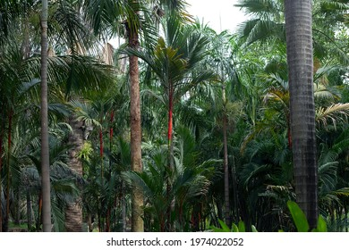 Red Lipstick Palm Trees, Tropical Garden
