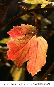 Red with a Little Green Maple Leaf Color Photo