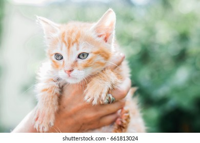 Red little kitten in female hands. Closeup photo.