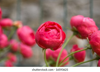 red little roses