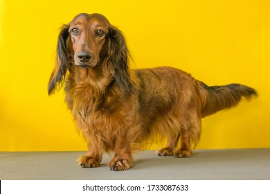 Red long haired dachshund standing on yellow background, small dog portrait