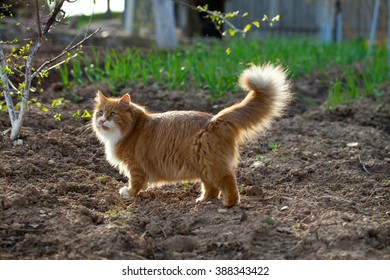 red long-haired cat outdoors