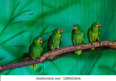 red lored amazon parrots sitting together on a tree branch in the aviary, tropical bird from the amazon basin of America