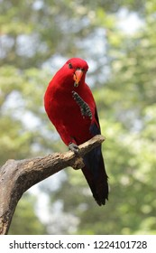 The red lory, Eos bornea, Close up of a red lory on a branch. Selective focus.