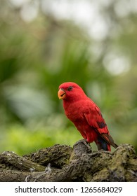 Red Lory, Eos bornea. Portrait of a small colorful parrot sitting on a branch.