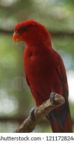 The red lory (Eos bornea) is a species of parrot in the family Psittaculidae. It is the second most commonly kept lory in captivity, after the rainbow lorikeet.