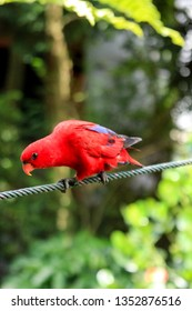 Red Lory or Mollucan Lory, Indonesian Endemic Bird