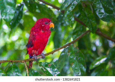 The red lory is a species of parrot in the family Psittaculidae. It is the second most commonly kept lory in captivity, after the rainbow lorikeet. Lories and Lorikeets live in Indonesia, New Guinea,